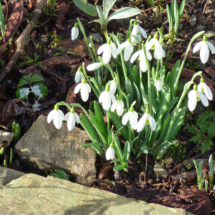 Snowdrops at Hidden Valley Gardens