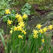 Daffodilis
