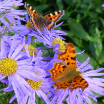 Painted Lady Comma butterfly
