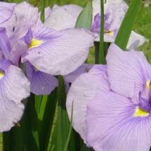 Iris in the Iris Garden