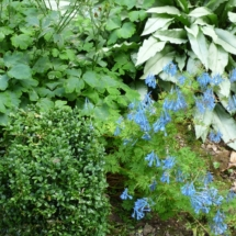 Corydalis and Pulmonaria