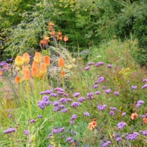 Kniphofia and Verbena late summer