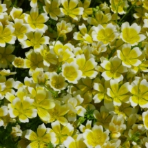 Limnanthes douglasii